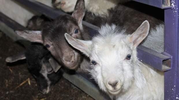 Представители Минсельхоза и ведущих животноводческих хозяйств Крыма примут участие в XXI Российской выставке племенных овец и коз – Андрей Рюмшин
