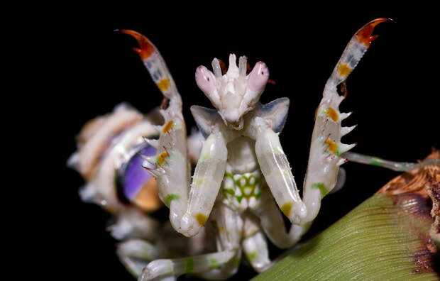 Шипастый цветочный богомол. (Frupus)