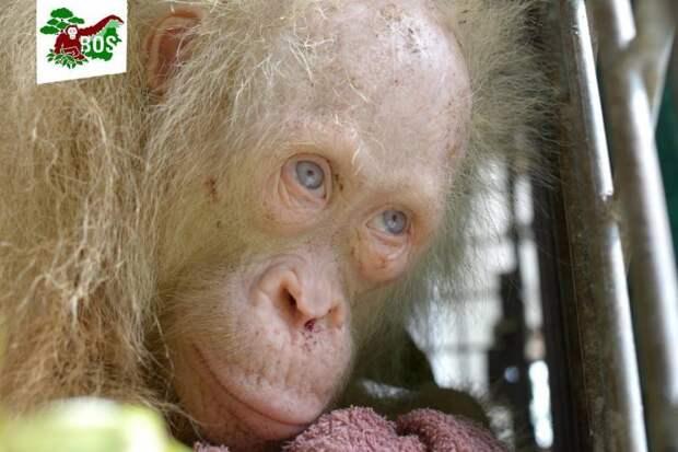 В Индонезии спасли орангутана-альбиноса