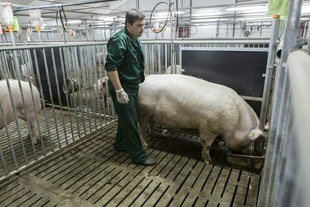 Свинок, отправленных на мясоперерабатывающий комплекс, незавидная участь настигла раньше