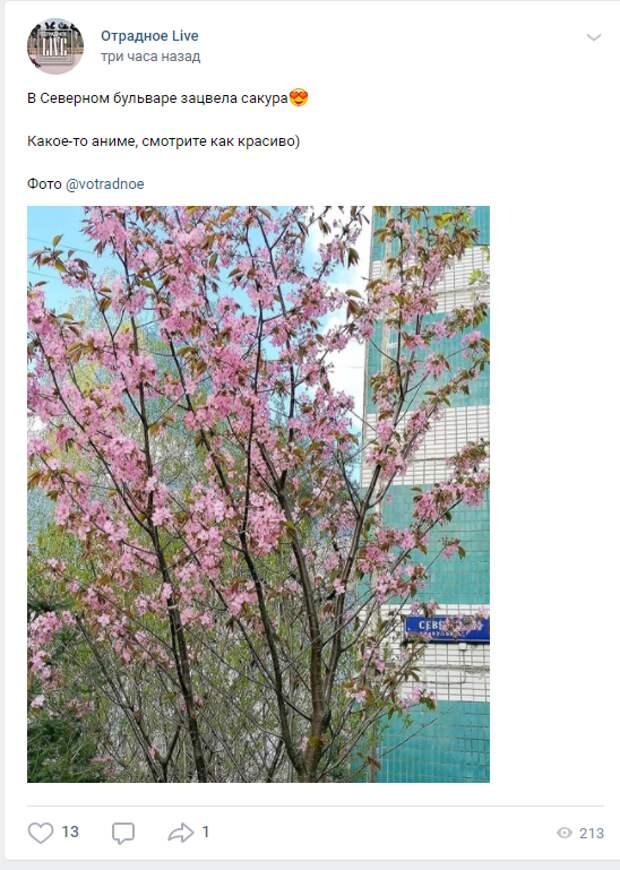 Фото дня: на Северном бульваре зацвела сакура