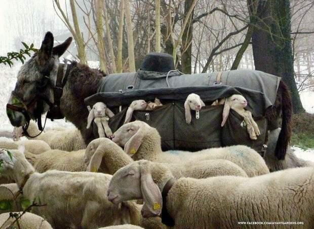 А ещё на пастушьего осла можно нагрузить ягнят!