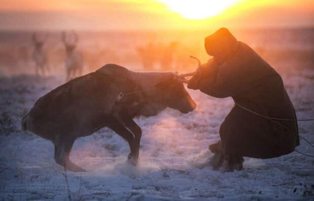 Жизнь вморозильнике: вышел фильм BBC омиграции ненецких оленеводов