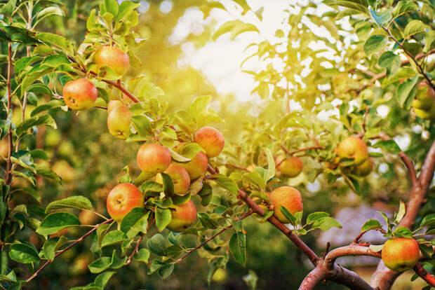 Картинки по запросу red apple tree