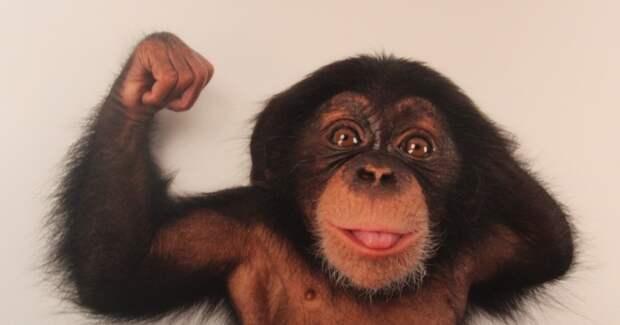 Насколько обезьяна сильнее человека и почему?