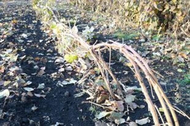 Как подготовить малину к зиме, чтобы на следующий год получить большой урожай
