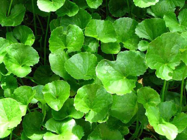 Herbal Extracts Exporter, Manufacturer, Supplier, Trading Company, Herbal Extracts India