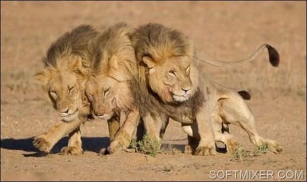 91618328_91457622_lions__1_
