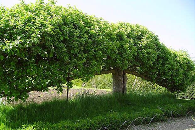 Выращивание фруктовых деревьев на шпалера