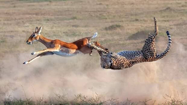Впечатляющие кадры охоты гепарда на импалу