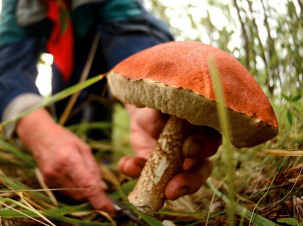 В России ужесточили правила сбора грибов и березового сока