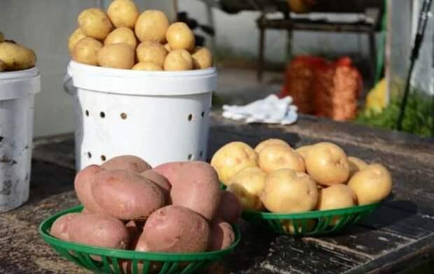 Уникальный сорт картофеля создали сибирские ученые