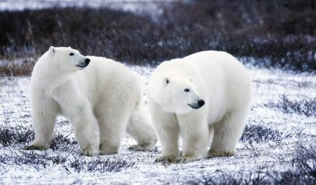 Российские ученые проследят пути миграции белых медведей в Арктике