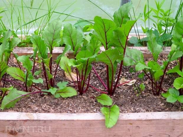 Что можно посадить в огороде в августе